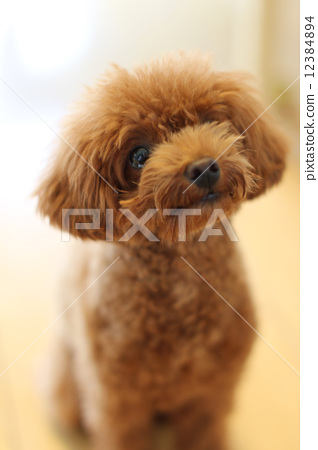 toy poodle 12384894