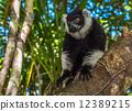 madagascar, lemur, white 12389215