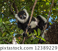 madagascar, lemur, white 12389229