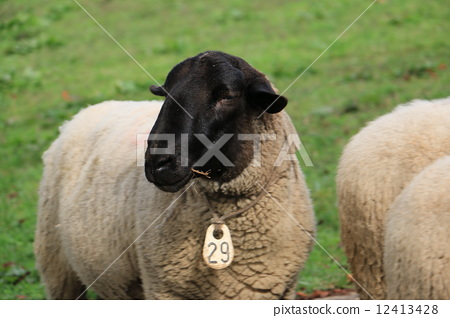 Black sheep with face 12413428