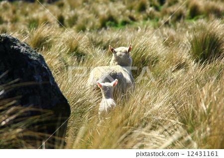Sheep parents 12431161