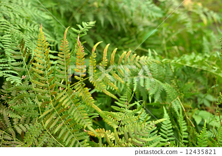Plants · Bracken Cobano Bear 12435821