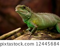 绿色 鬣蜥蜴 常见 12445684