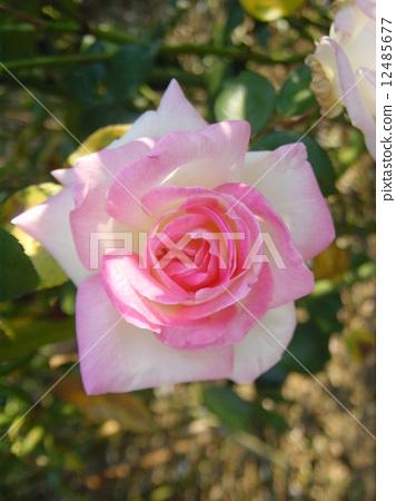 흰색과 핑크 장미 품종 이름 프린세스 드 모나코 12485677