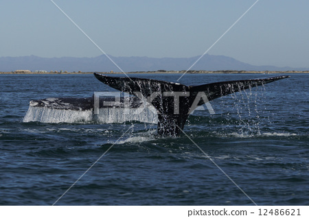 Gray Whale 12486621