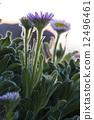 沿海的花朵 12496461