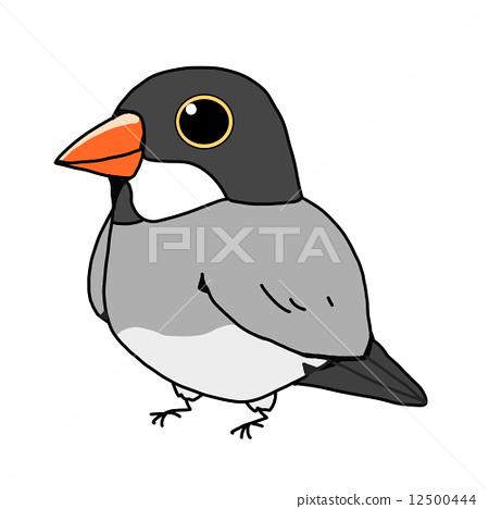 禾雀 爪哇雀 稻田鸟 12500444