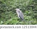 留鳥 野生鳥類 野鳥 12513044