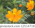 코스모스, 꽃, 노랑 12514718