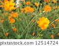 깨끗한, 코스모스, 꽃 12514724