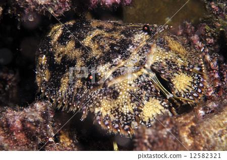 Elephant shrimp 12582321