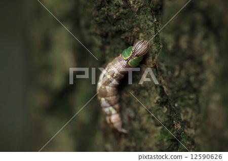 생물 곤충 호 메밀 샤치 호코 성충은 보통 나방입니다. 녹색과 갈색의 복잡한 모양으로 고구마와 부르는지 배추 벌레라고 부르는 것인가 ···. 멀리서는 벌레의 낙엽 같습니다 12590626