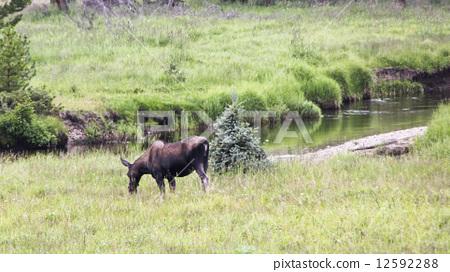 North American Moose 12592288