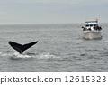whale, watching, humpback 12615323