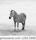 Black and white striped zebra 12621880