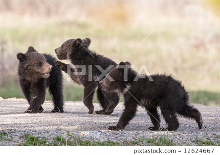 Bears in the Wild 12624667