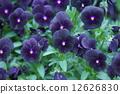 パンジー ビオラ 品種はブラックオパール 12626830