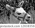 alpaca, white, young 12638356