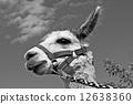 alpaca, white, young 12638360
