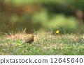 冬候鳥 樹鷚 野生鳥類 12645640
