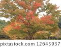 japanese, zelkova, autumn 12645937