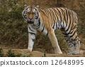 東京多摩動物園托拉 12648995