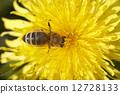 yellow bee blooming 12728133