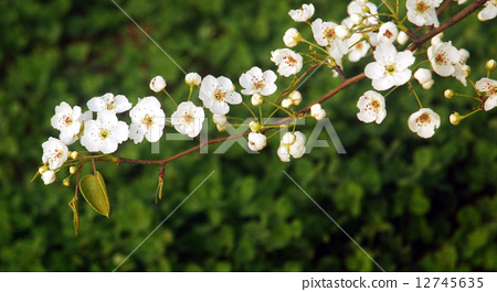梨花--近景 12745635