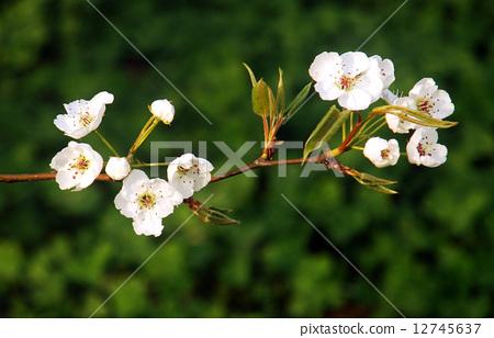 梨花--近景 12745637