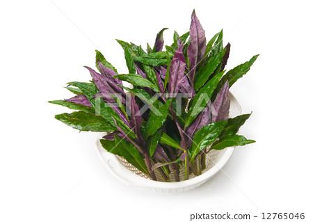紫背天葵 12765046