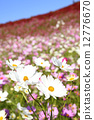 꽃잎, 꽃밭, 코스모스 12776670