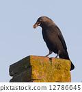 Daw (Corvus monedula) is eating a piece of bread 12786645