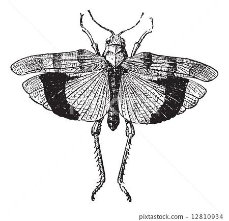 Fig 9. Acrid. Coleopteres, vintage engraving. 12810934