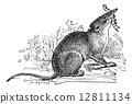 mammal, engraving, vintage 12811134