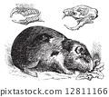 Guinea pig or Cavy or Cavia porcellus vintage engraving 12811166