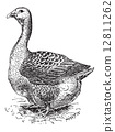 Toulouse Goose, vintage engraving 12811262
