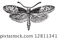 Moth Butterfly or Liphyra brassolis, vintage engraving 12811341