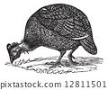Common guinea fowl (Numida meleagris), vintage engraving. 12811501
