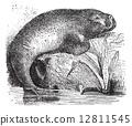 Sea Cow or Dugong or Dugong dugon, vintage engraving 12811545