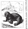 Sea lion, vintage engraving. 12811552