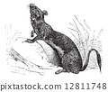 Stoat (Mustela erminea) or Ermine in summer pelt vintage engravi 12811748
