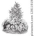 Tibet Rhubarb (Rheum officinale), vintage engraving. 12811919