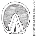 Horse's hoof (Front Upright) vintage engraving 12812097