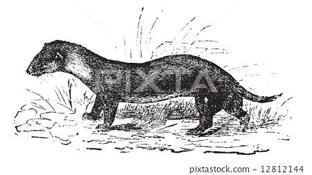 The European polecat or Mustela putorius, vintage engraving. 12812144