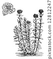 Jerusalem Cross flower or Lychnis chalcedonica vintage engraving 12812247