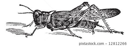 Rocky Mountain Locust or Melanoplus spretus vintage engraving 12812266