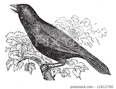 Giant Cowbird or Molothrus oryzivorus, bird, vintage engraving. 12812790