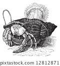 Hermit crab dragging Sea anemones, vintage engraving. 12812871