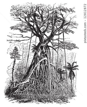 Polyalthia tree forests of Malaysia, vintage engraving. 12812872