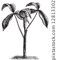 Arisaema triphyllum or wild turnip old engraving. 12813302